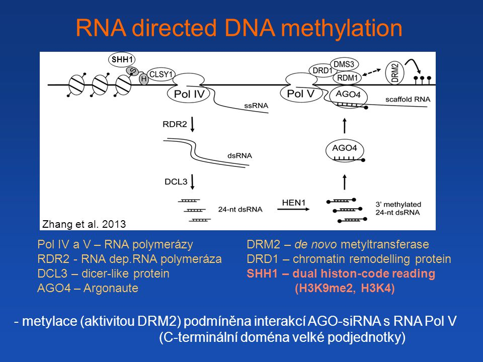 RNA directed DNA methylation