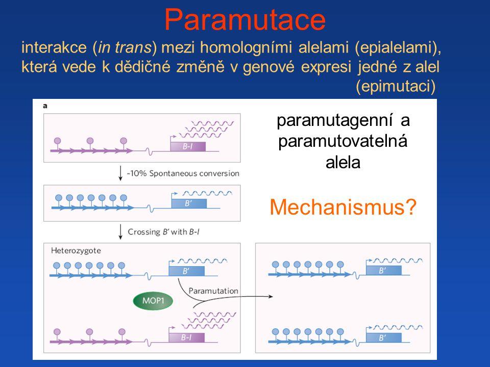 paramutagenní a paramutovatelná alela