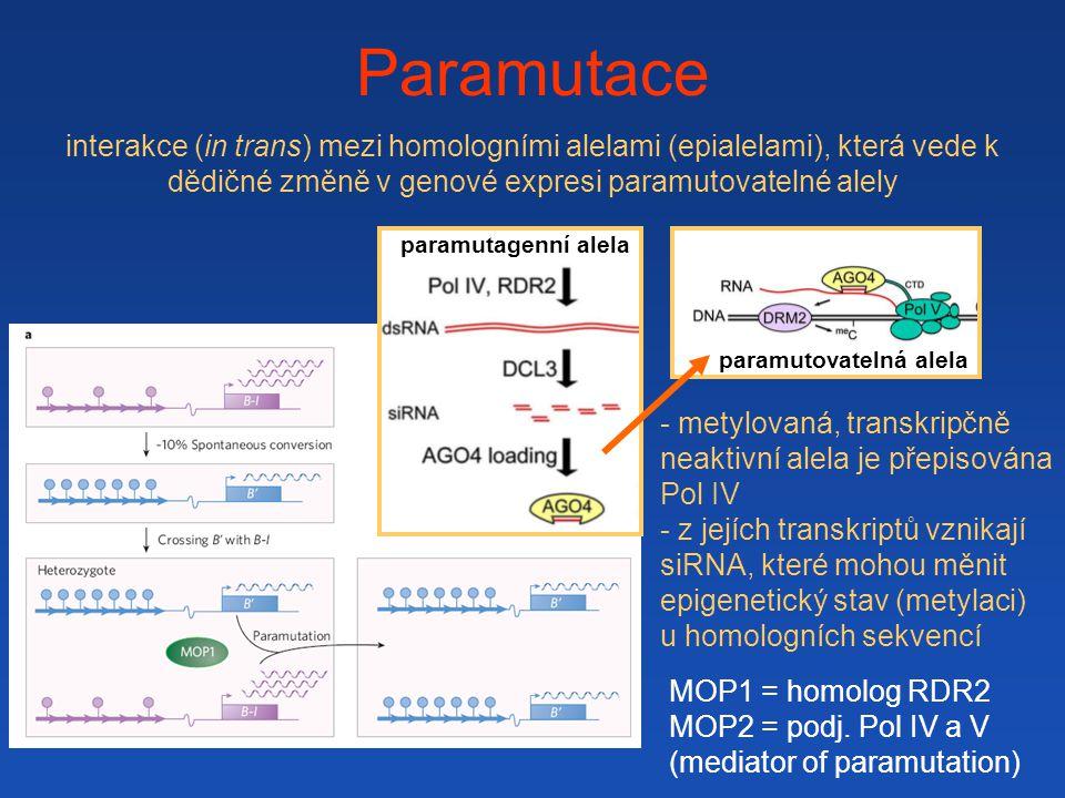 paramutovatelná alela