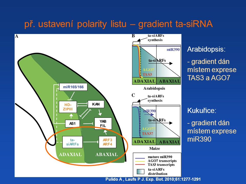 př. ustavení polarity listu – gradient ta-siRNA