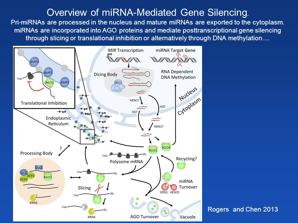 Overview of miRNA-Mediated Gene Silencing.