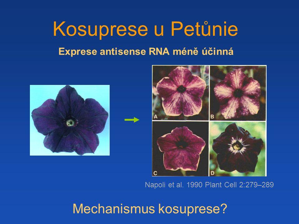 Kosuprese u Petůnie Mechanismus kosuprese