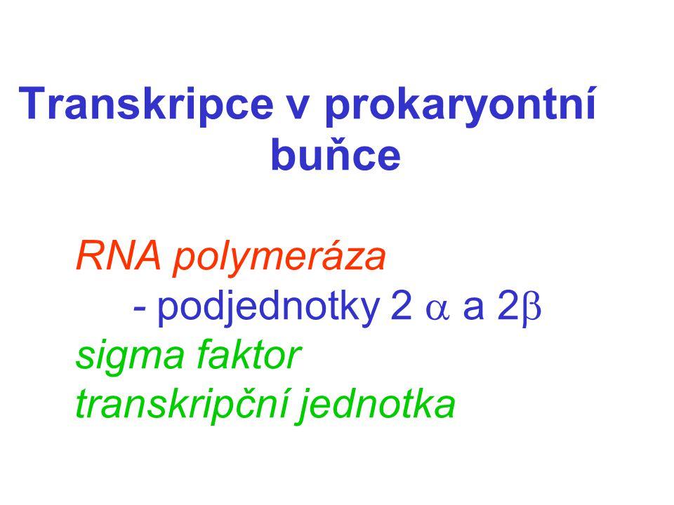 Transkripce v prokaryontní buňce. RNA polymeráza