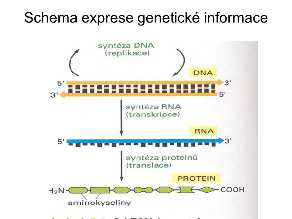 Schema exprese genetické informace