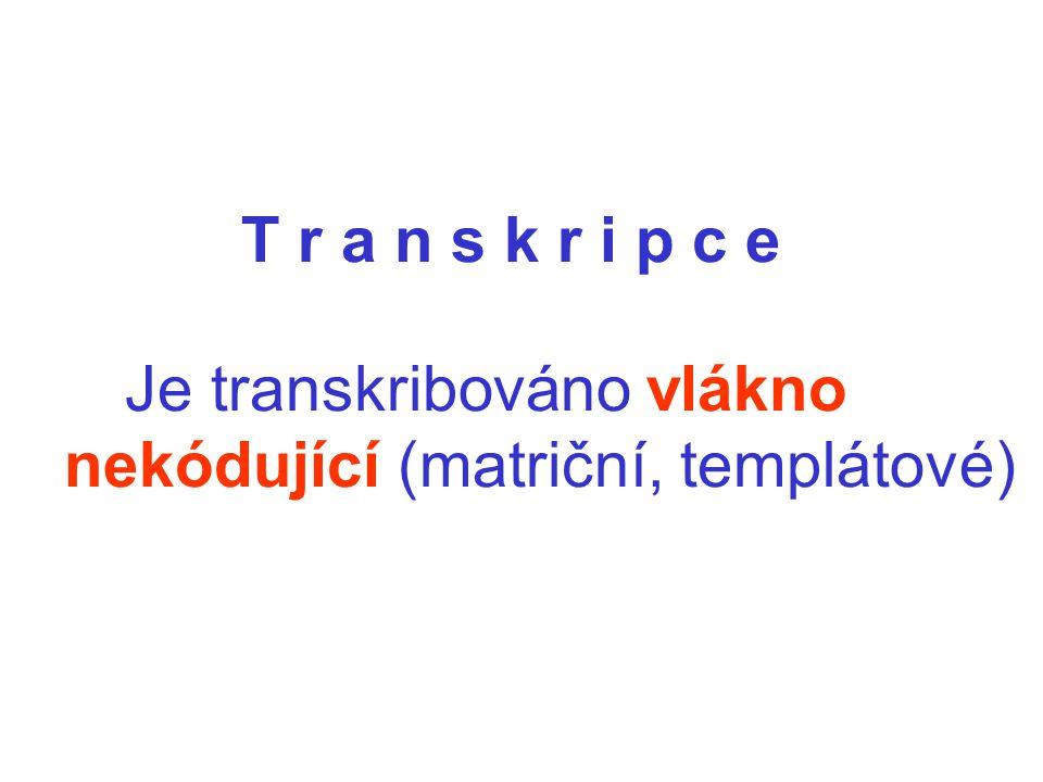 T r a n s k r i p c e Je transkribováno vlákno nekódující (matriční, templátové)