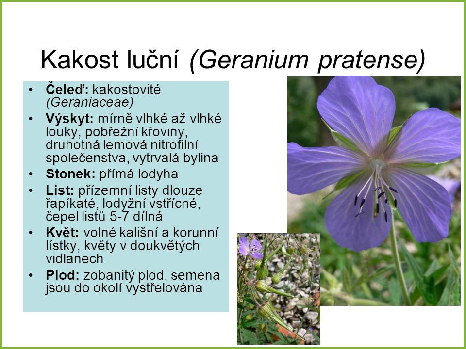 Kakost luční (Geranium pratense)