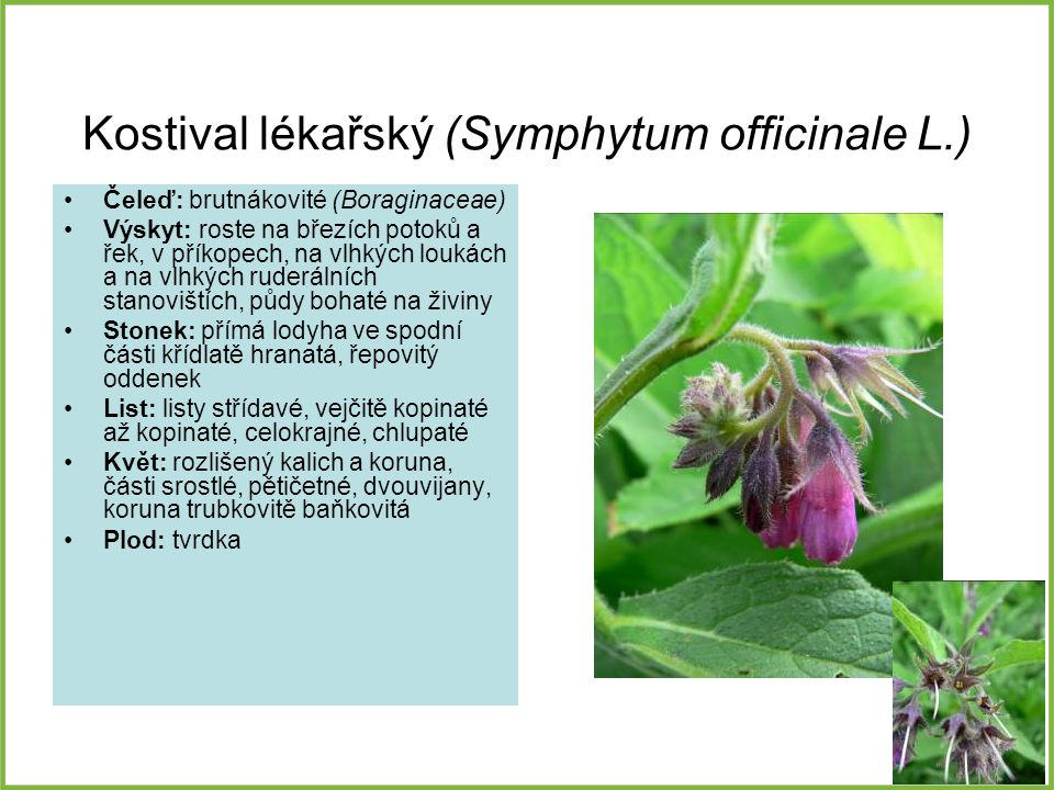 Kostival lékařský (Symphytum officinale L.)