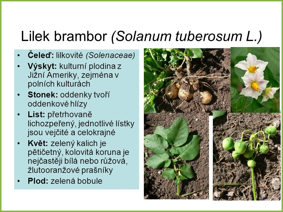 Lilek brambor (Solanum tuberosum L.)