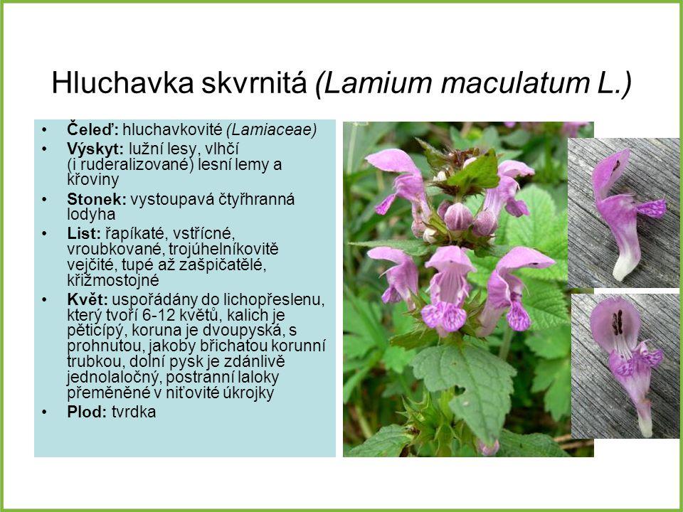 Hluchavka skvrnitá (Lamium maculatum L.)