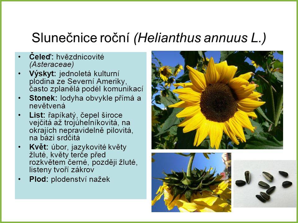 Slunečnice roční (Helianthus annuus L.)