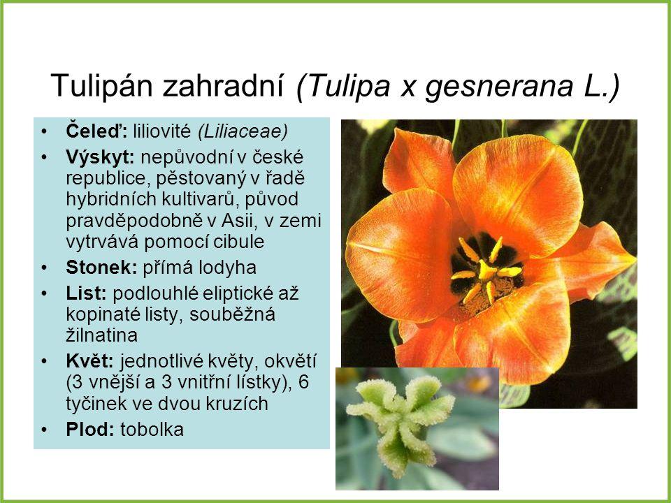 Tulipán zahradní (Tulipa x gesnerana L.)