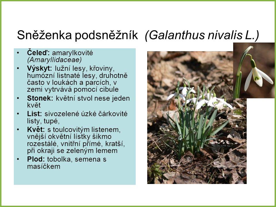Sněženka podsněžník (Galanthus nivalis L.)