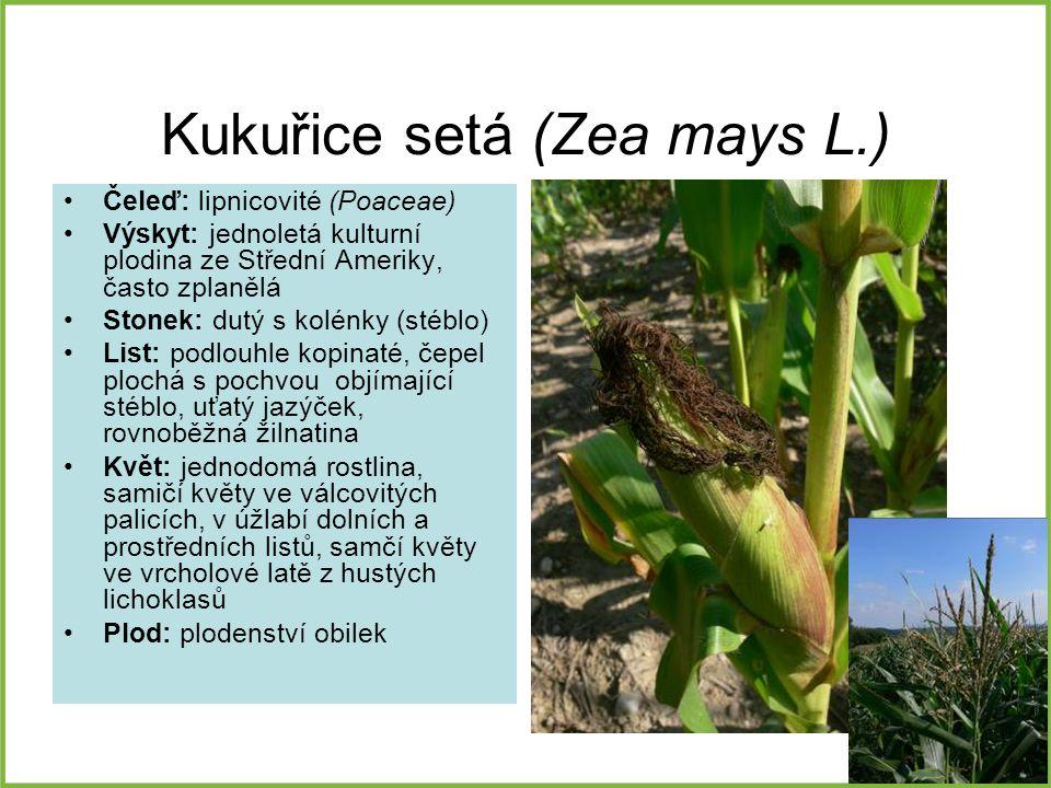 Kukuřice setá (Zea mays L.)