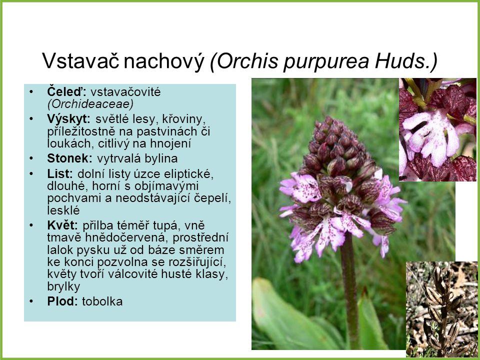 Vstavač nachový (Orchis purpurea Huds.)