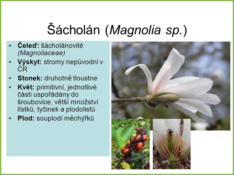 Šácholán (Magnolia sp.)