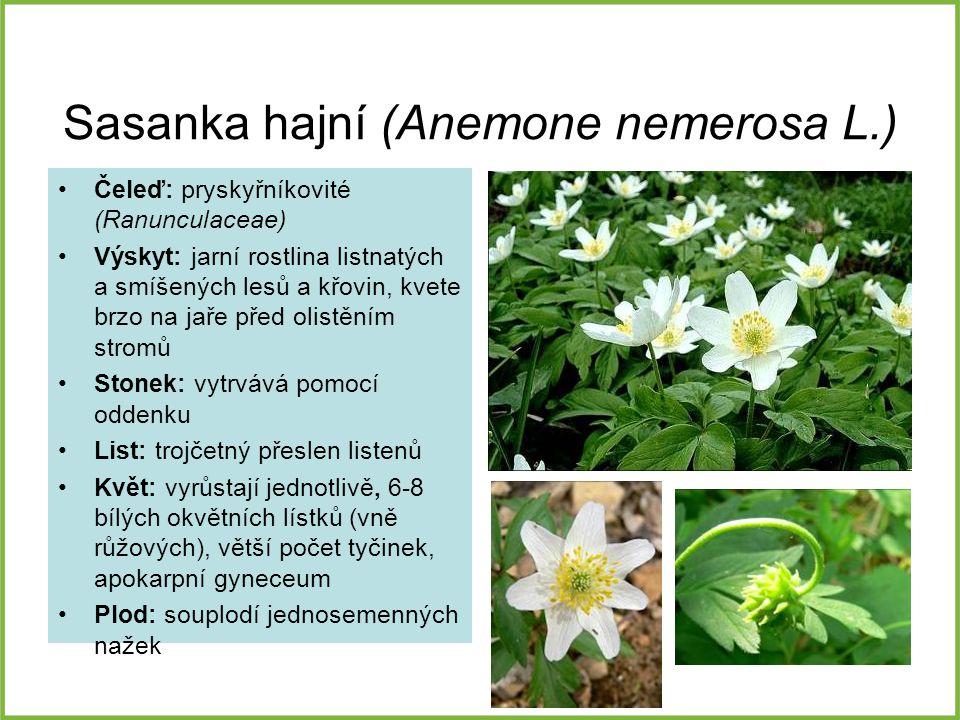 Sasanka hajní (Anemone nemerosa L.)