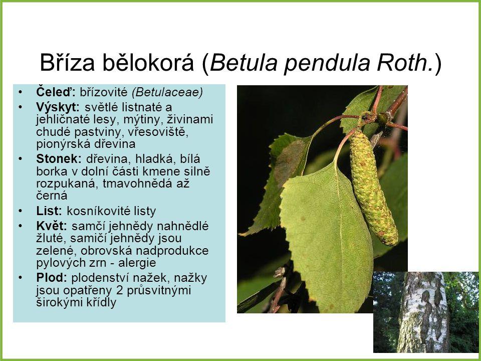 Bříza bělokorá (Betula pendula Roth.)