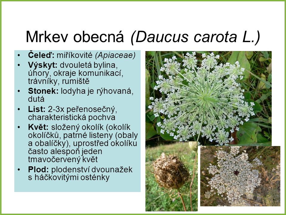 Mrkev obecná (Daucus carota L.)