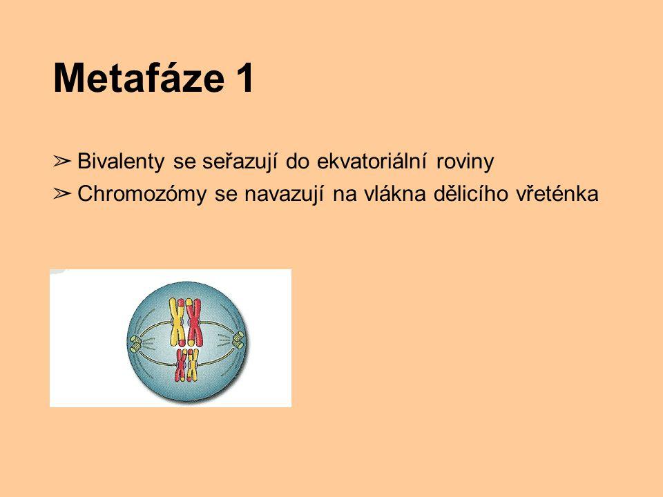 Metafáze 1 Bivalenty se seřazují do ekvatoriální roviny