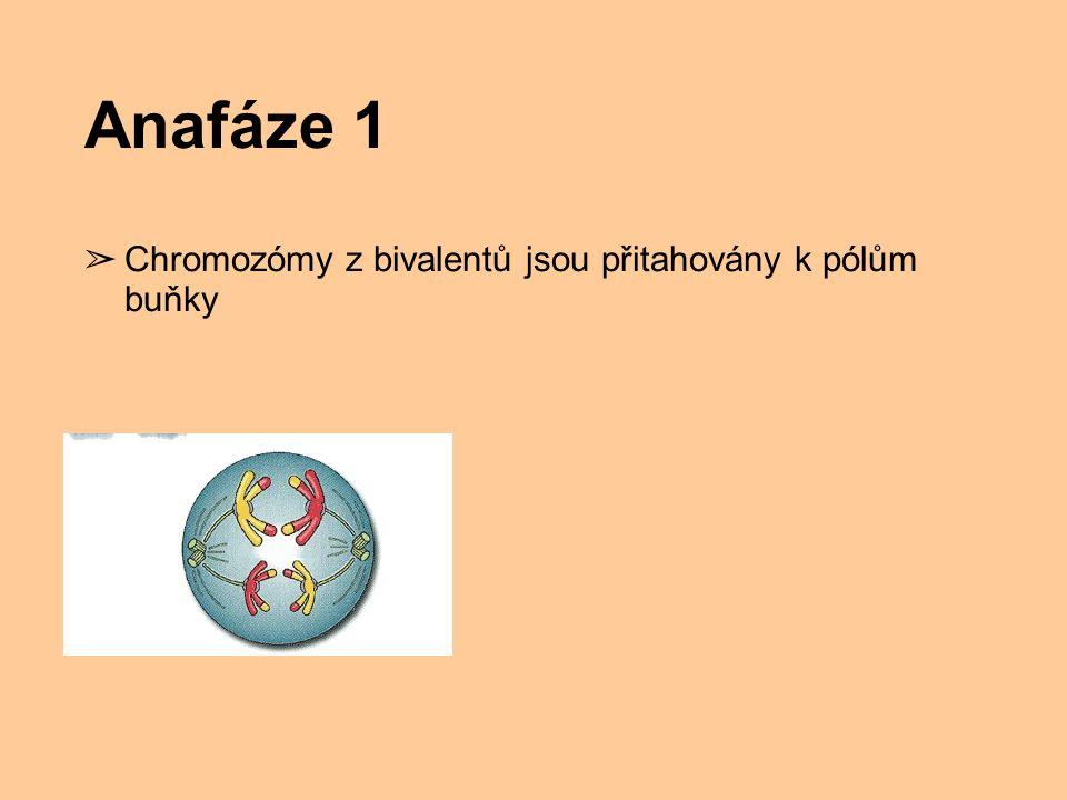 Anafáze 1 Chromozómy z bivalentů jsou přitahovány k pólům buňky
