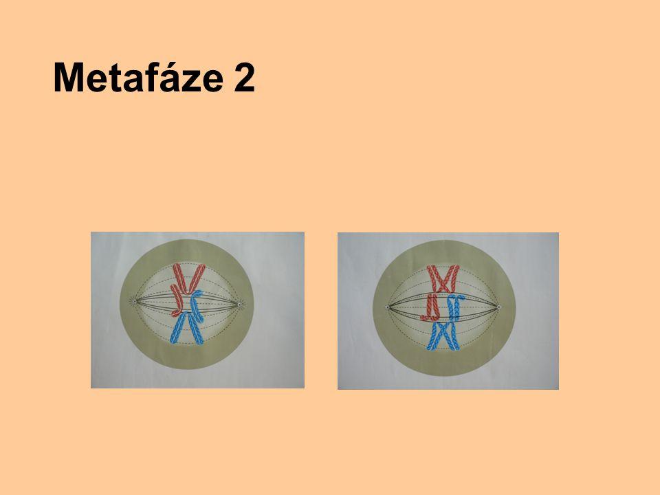 Metafáze 2