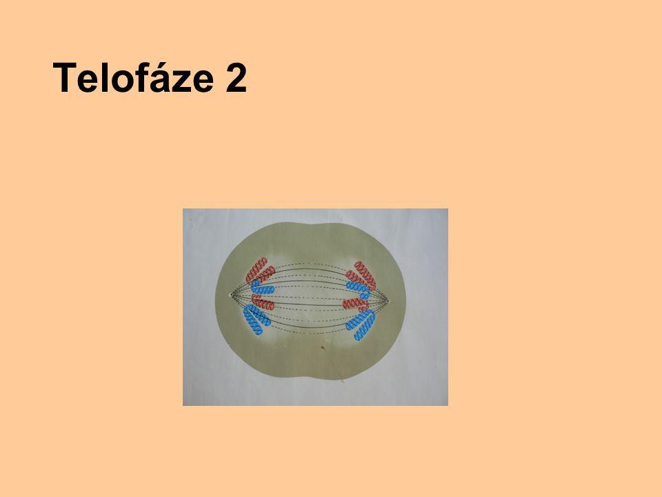 Telofáze 2