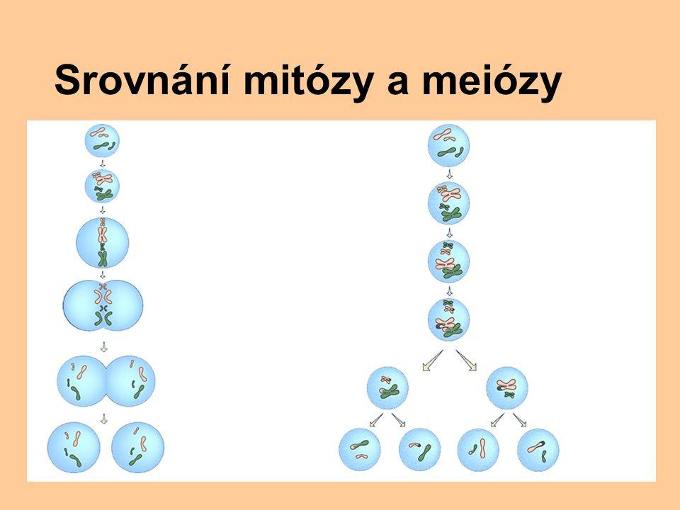 Srovnání mitózy a meiózy