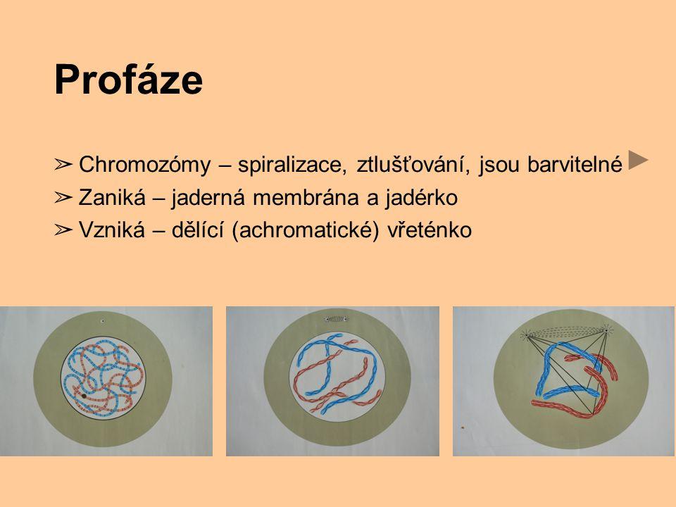 Profáze Chromozómy – spiralizace, ztlušťování, jsou barvitelné