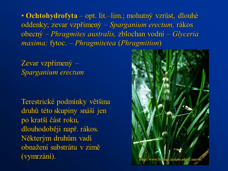Zevar vzpřímený – Sparganium erectum
