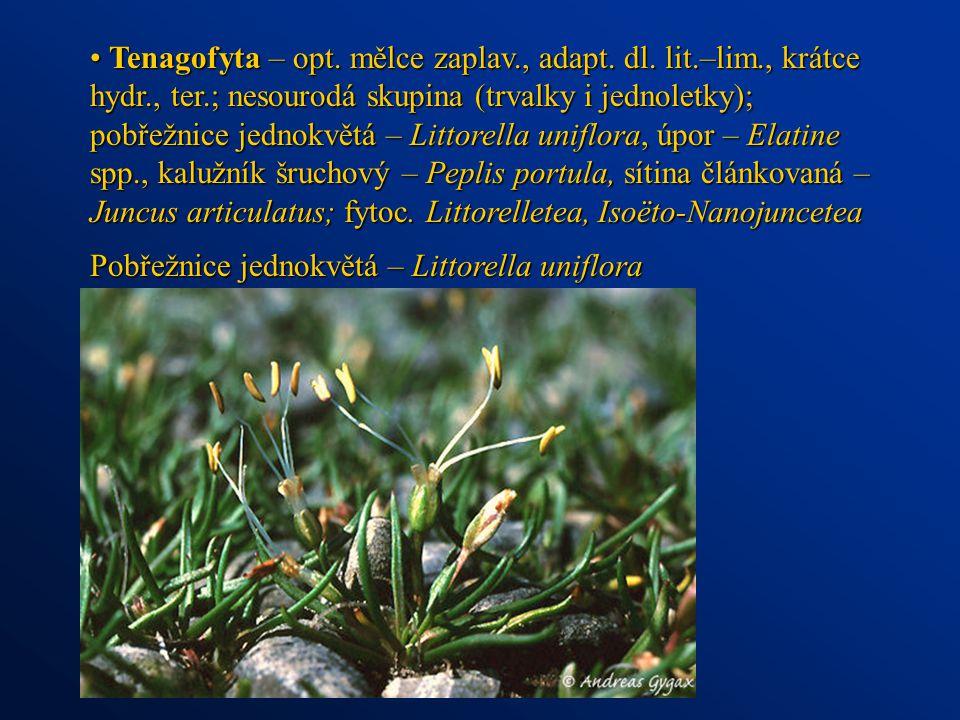 Tenagofyta – opt. mělce zaplav. , adapt. dl. lit. –lim. , krátce hydr