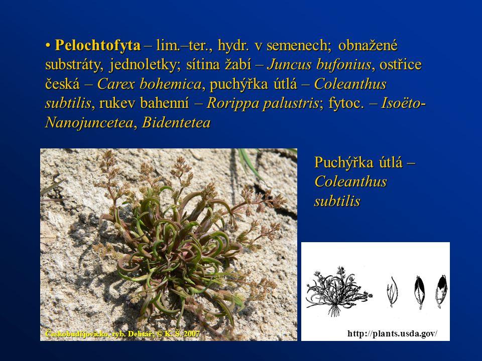 Puchýřka útlá – Coleanthus subtilis