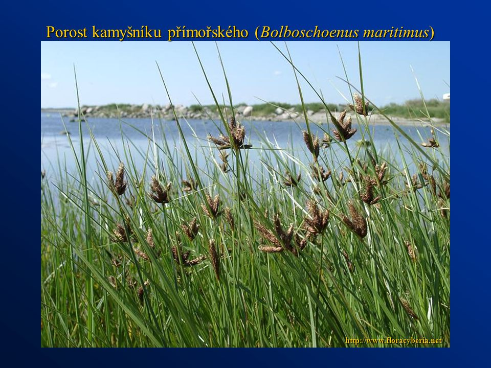 Porost kamyšníku přímořského (Bolboschoenus maritimus)
