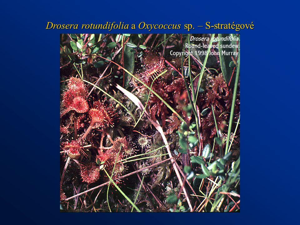 Drosera rotundifolia a Oxycoccus sp. – S-stratégové