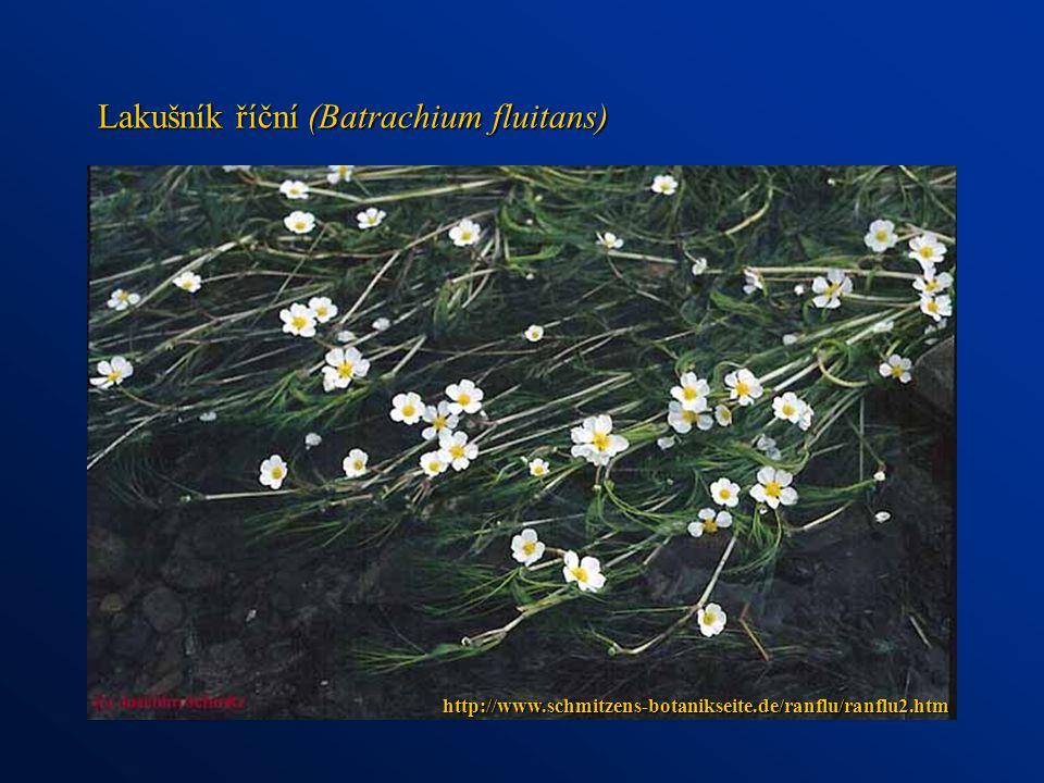 Lakušník říční (Batrachium fluitans)
