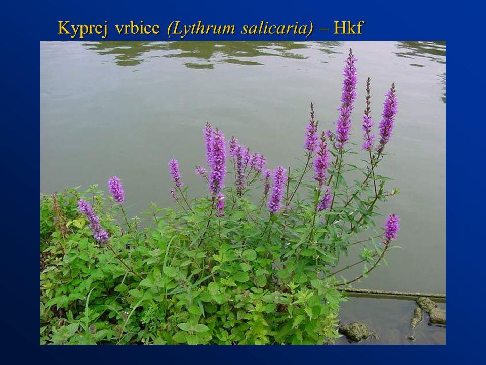 Kyprej vrbice (Lythrum salicaria) – Hkf