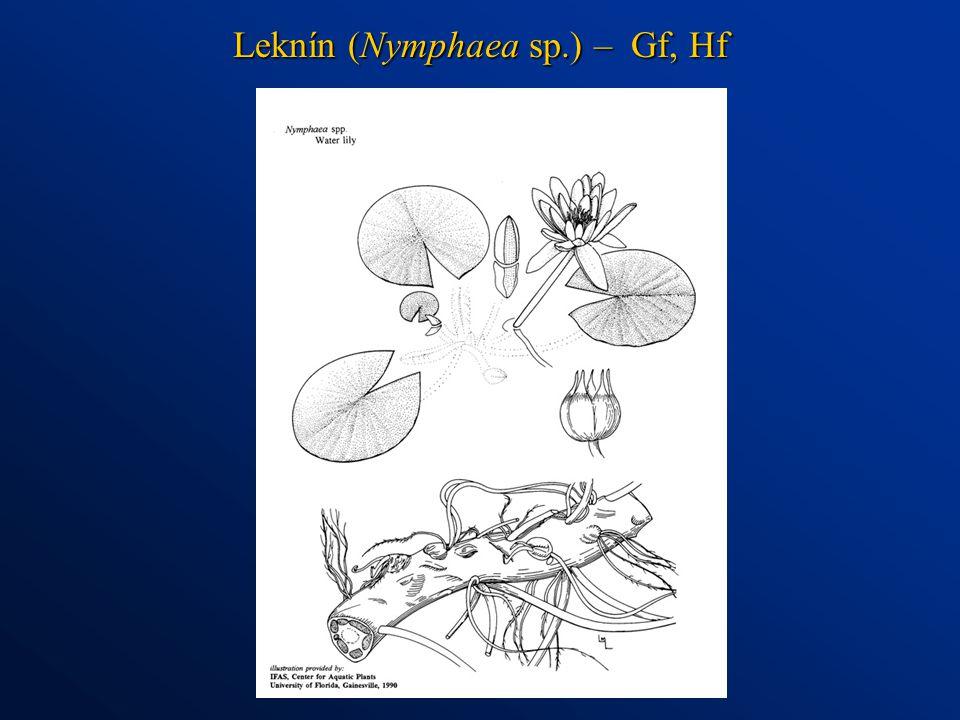 Leknín (Nymphaea sp.) – Gf, Hf