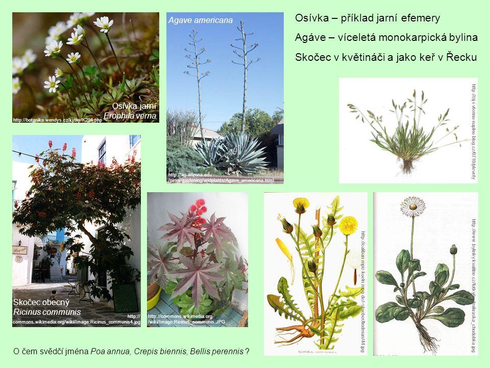 Osívka – příklad jarní efemery Agáve – víceletá monokarpická bylina