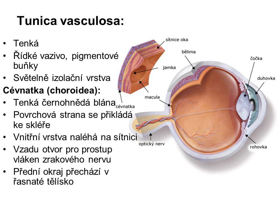 Tunica vasculosa: Tenká Řídké vazivo, pigmentové buňky