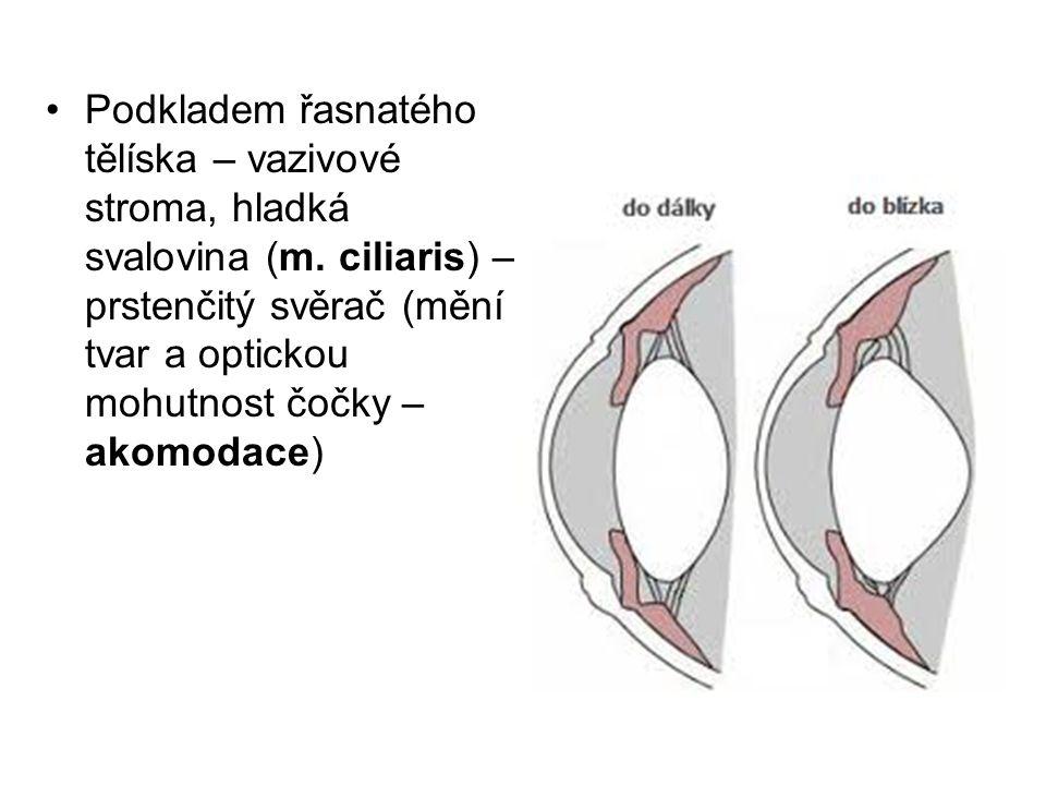 Podkladem řasnatého tělíska – vazivové stroma, hladká svalovina (m