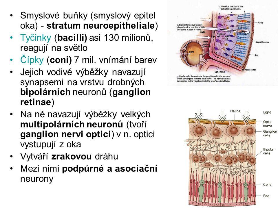 Smyslové buňky (smyslový epitel oka) - stratum neuroepitheliale)
