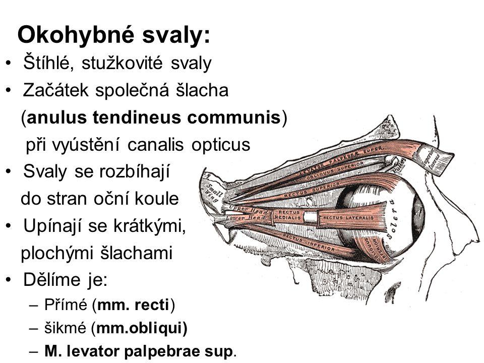 Okohybné svaly: Štíhlé, stužkovité svaly Začátek společná šlacha