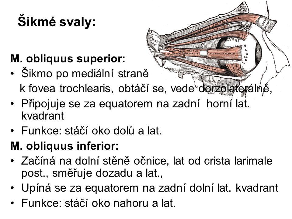 Šikmé svaly: M. obliquus superior: Šikmo po mediální straně
