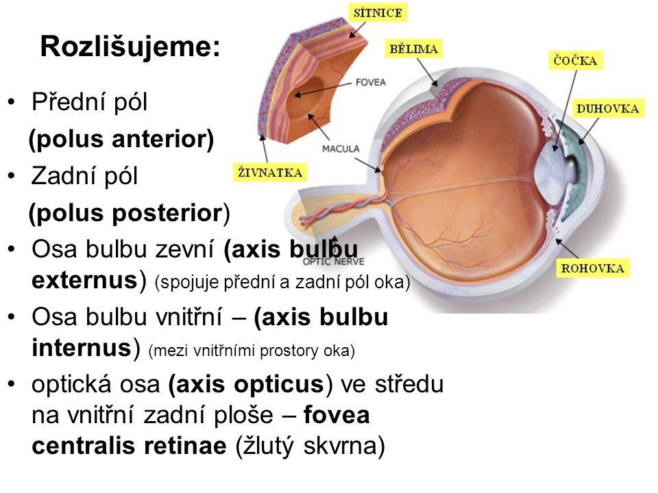 Rozlišujeme: Přední pól (polus anterior) Zadní pól (polus posterior)
