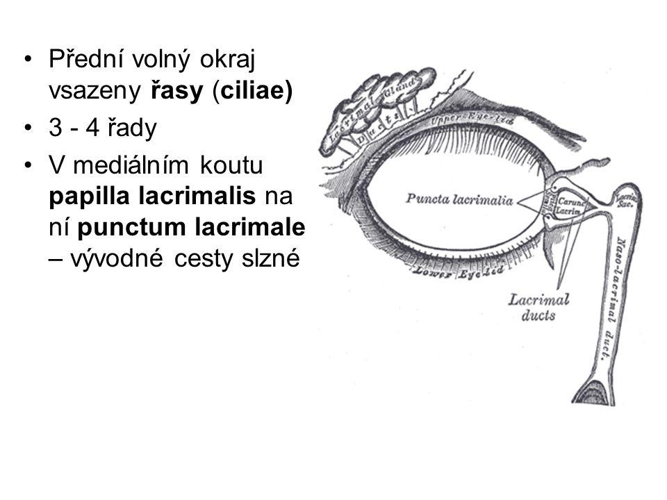 Přední volný okraj vsazeny řasy (ciliae)