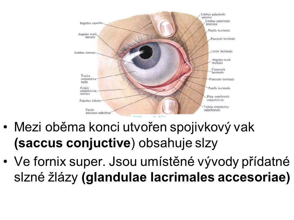 Mezi oběma konci utvořen spojivkový vak (saccus conjuctive) obsahuje slzy