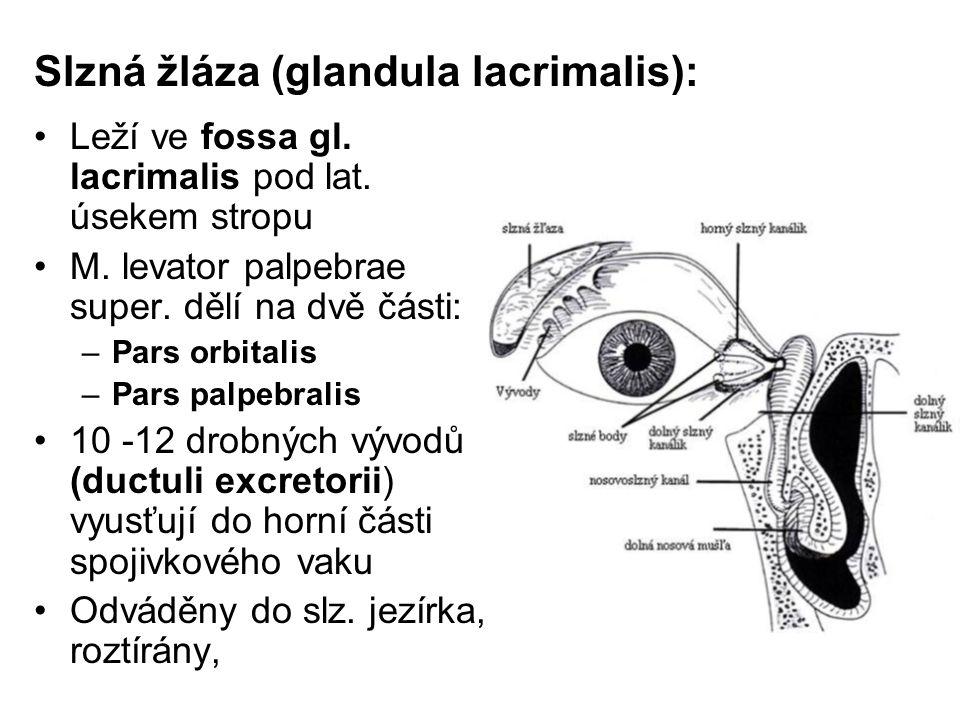 Slzná žláza (glandula lacrimalis):