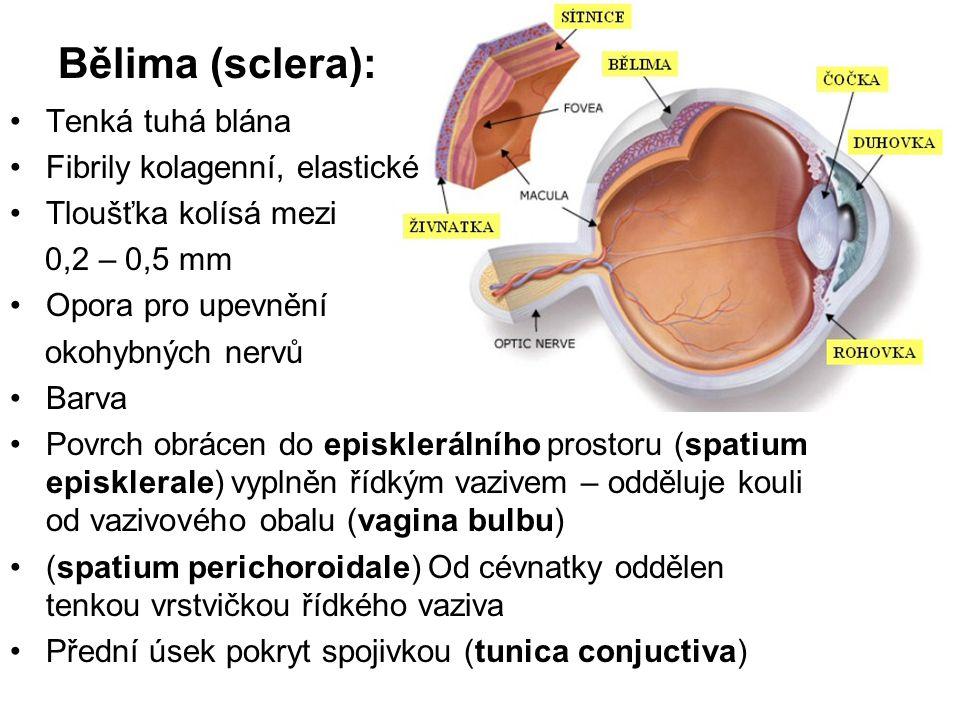 Bělima (sclera): Tenká tuhá blána Fibrily kolagenní, elastické