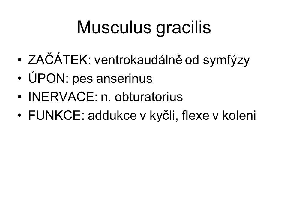 Musculus gracilis ZAČÁTEK: ventrokaudálně od symfýzy