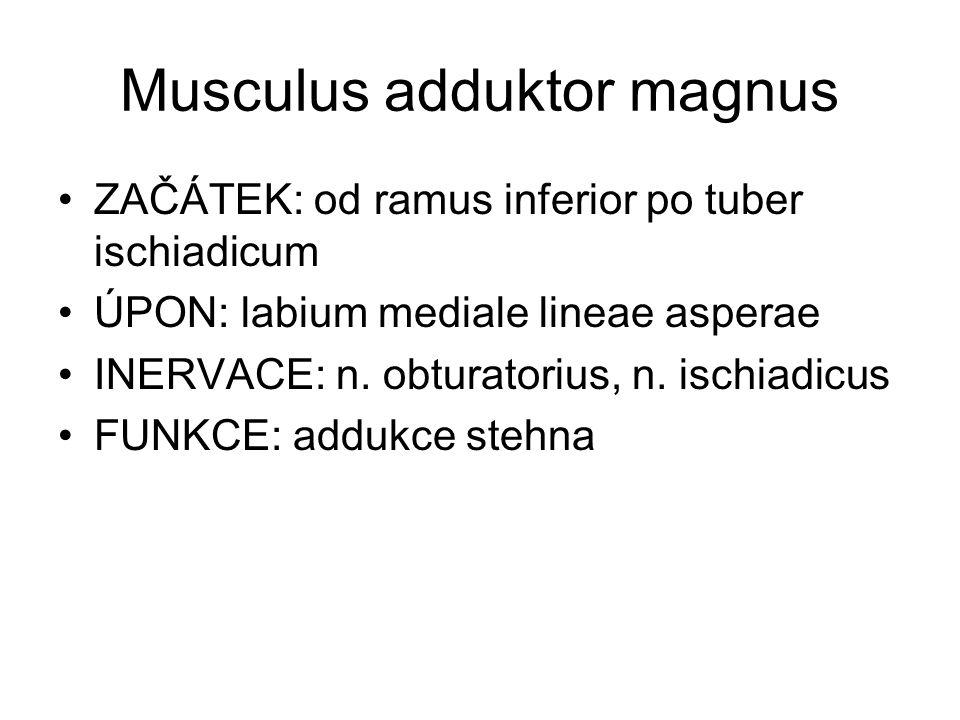Musculus adduktor magnus