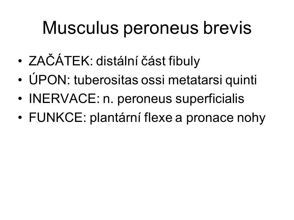 Musculus peroneus brevis